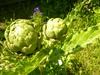 Cynara cardunculus (Scolymus Group)