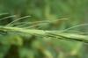 Liatris spicata var. resinosa