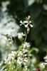 Eruca vesicaria
