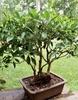 As bonsai