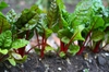 Beta vulgaris (Leaf Beet Group)