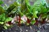 Beta vulgaris (Leaf Beet Group)