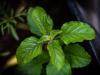 Opposite leaves