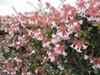 Linnaea × grandiflora