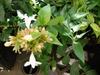 Linnaea x grandiflora 'Kaleidoscope' PP #16988