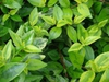 Linnaea × grandiflora 'Kaleidoscope'