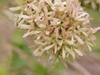 Linnaea chinensis