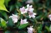 Linnaea × grandiflora 'Edward Goucher'