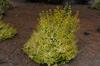 Abelia x grandiflora 'Kaleidescope'