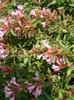 Abelia x grandiflora 'Edward Goucher'