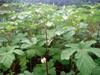 Mature plants