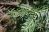 Abies concolor needles