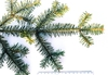 Abies alba branch