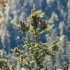 Abies alba cones