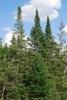 Tree form (Steuben County, NY)-Late Summer