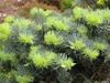 Abies concolor 'Compacta' needles