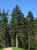 Abies concolor form in Poland