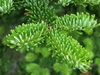 Abies fraseri needles