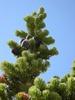 Abies lasiocarpa macro
