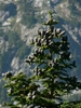 Abies lasiocarpa by cones and form