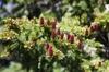 Abies lasiocarpa cones