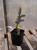Abies lasiocarpa var. arizonica 'Glauca Compacta' seedling