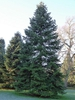 Abies nordmanniana tree