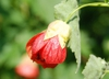 Abutilon x hybridum red flower