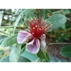 Acca sellowiana 'NCSU Hardy'
