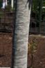 Acer floridanum bark