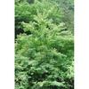 Acer buergerianum tree