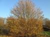 Acer campestre tree