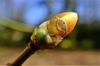Acer cappadocicum bud