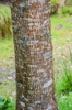 Acer cappadoccium bark