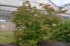 Acer circinatum Form