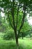 Acer diabolicum tree