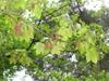 Acer diabolicum
