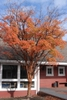 Acer griseum fall color