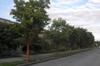 Acer griseum on a Portland street