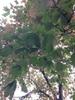 Acer leucoderme (Chalk Maple)