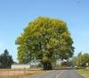 Acer macrophyllum Form