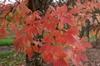 Acer maximowixziana fall foliage