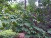 Acer mono Bostonian13