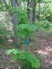 Acer nipponicum habit
