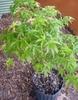 Acer palmatum 'Kiyohime' in pot