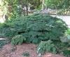 Acer palmatum 'Kiyohime' form