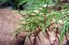 Acer palmatum var. dissectum 'Green Mist'