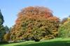 Acer pseudoplatanus tree