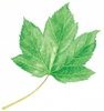 Acer pseudoplatanus leaf illustration