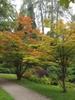 Acer sieboldianum tree